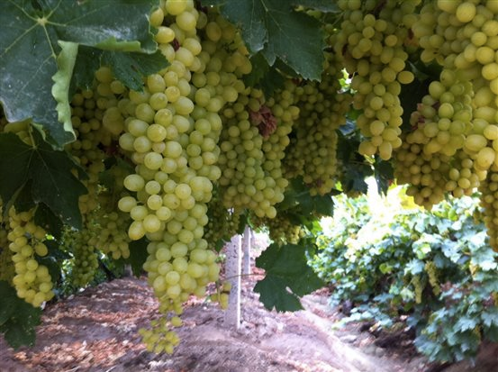 Grapes Grown With SeaStar Grow